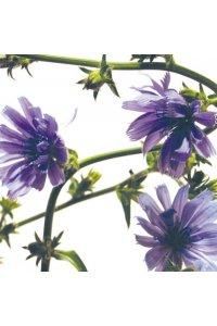 FLEUR DE BACH Chicory 20 ml